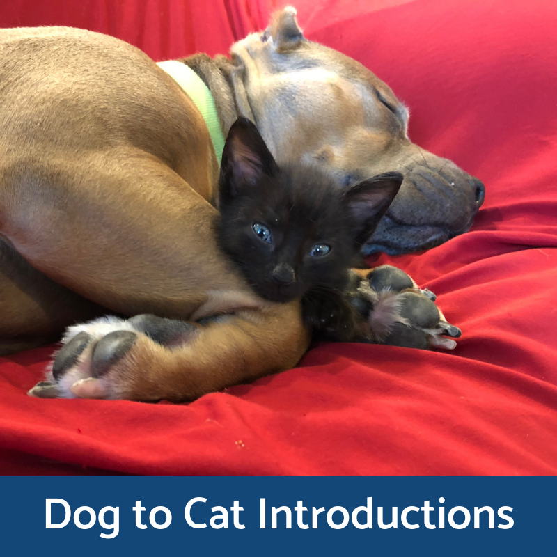 Dog to Cat Introductions
