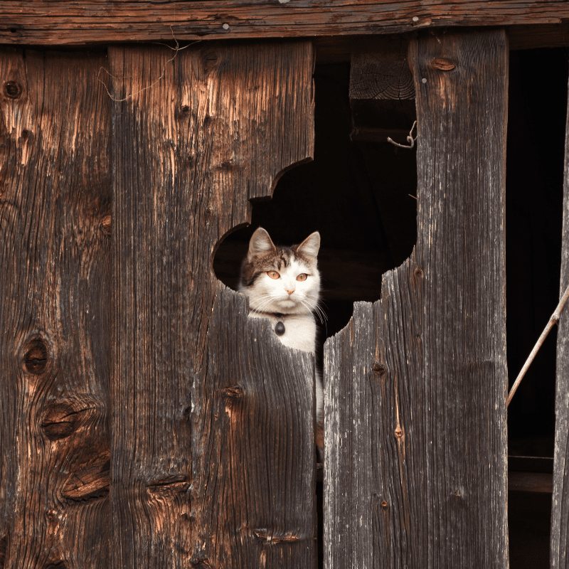A cat looking through a section of a barn.