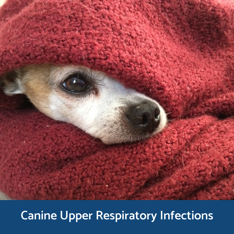 Information on upper respiratory infections in canines