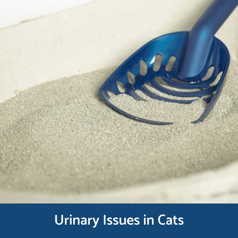 Information on urinary issues in cats