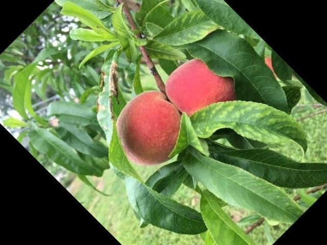 Peaches at Farmden - Peach Tree