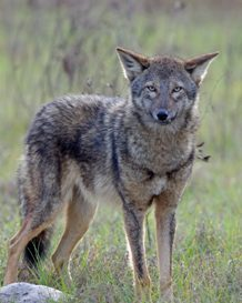 Coyote from Joe Web