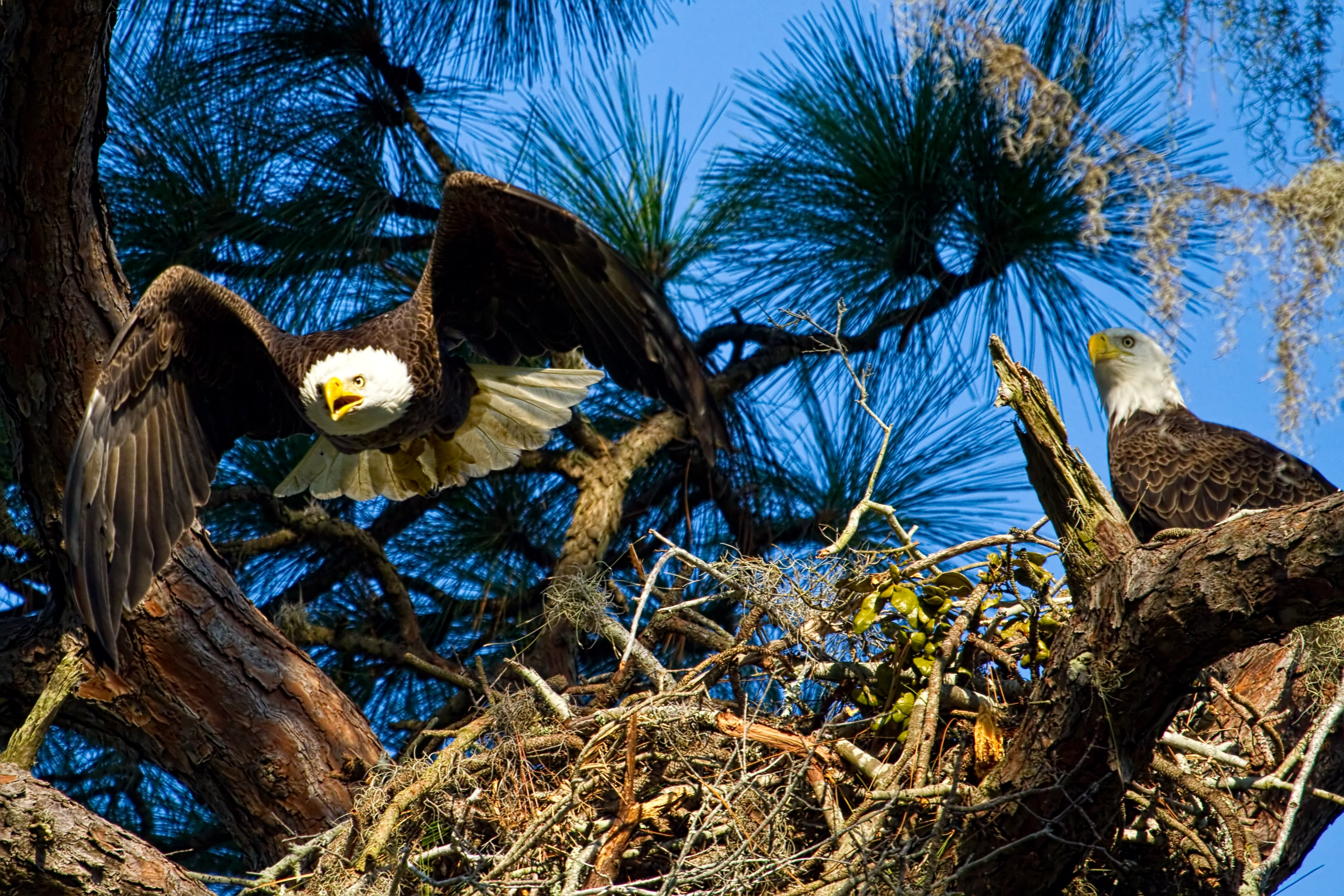 Bald Eagle Nest