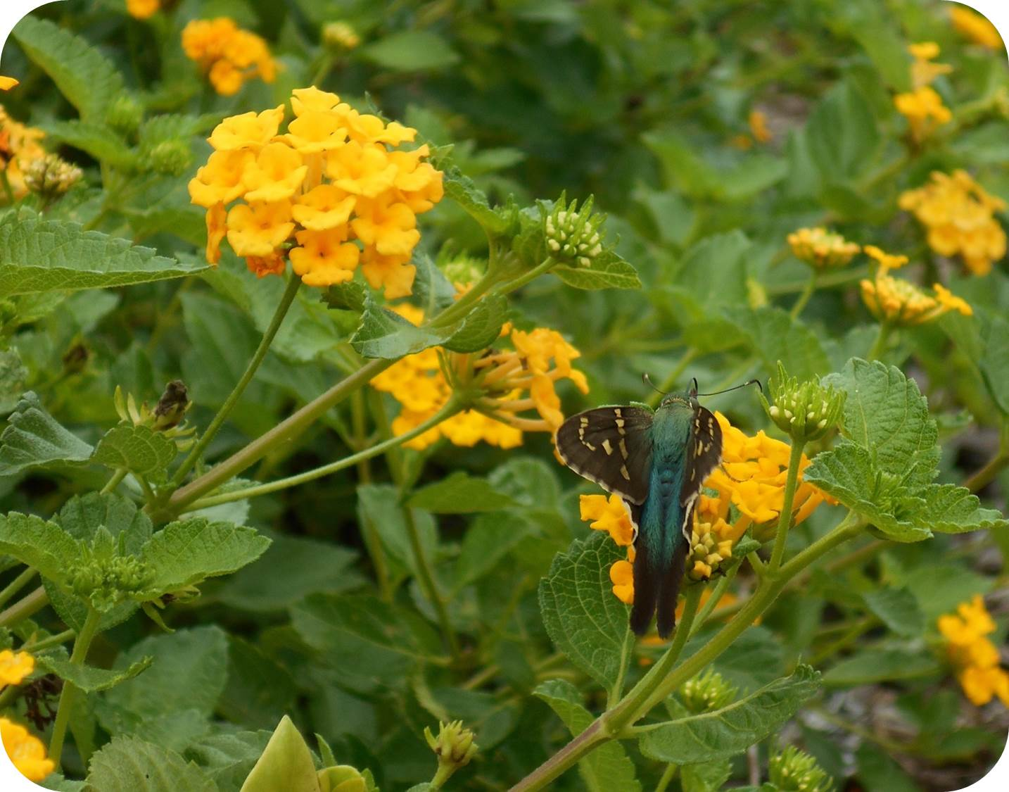 Lantana flowers with butterfly